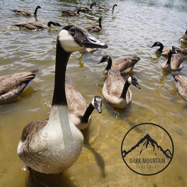 Geese4.jpg